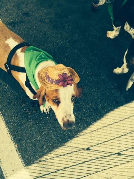 This Basset hound got adopted!